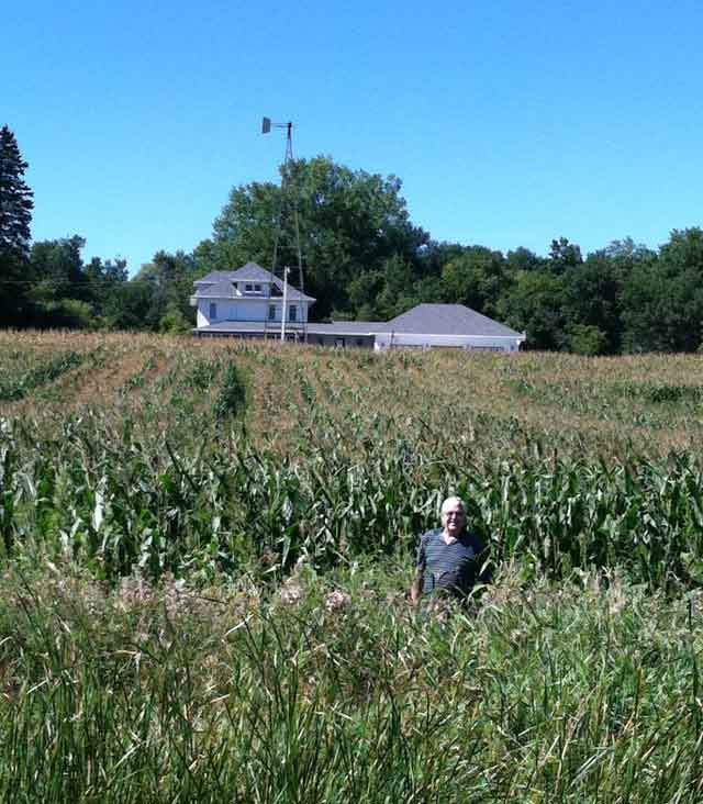 Picking sweet corn